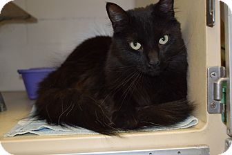 Domestic Longhair Cat for adoption in Bucyrus, Ohio - Spanish Dancer