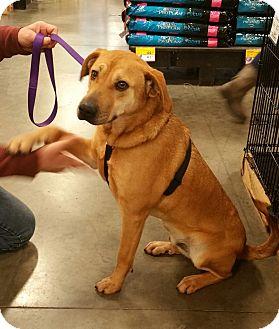 Labrador Retriever/Golden Retriever Mix Dog for adoption in Alexis, North Carolina - Carmello