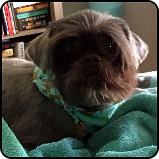Brussels Griffon/Shih Tzu Mix Dog for adoption in Los Angeles, California - COLBY - ADOPTION PENDING!