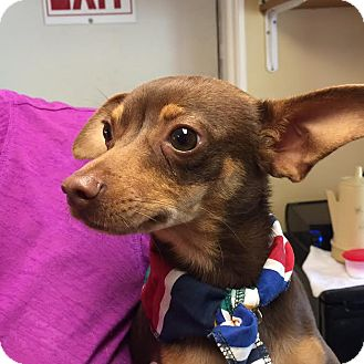 Chihuahua Mix Puppy for adoption in Coventry, Rhode Island - Diego