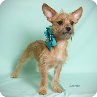 Terrier (Unknown Type, Small) Mix Puppy for adoption in Kerrville, Texas - Bernie
