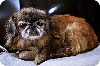 Pekingese Mix Dog for adoption in Fort Smith, Arkansas - Izzy