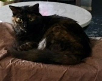 Maine Coon Cat for adoption in Fort Worth, Texas - Starr