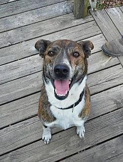 Catahoula Leopard Dog/Labrador Retriever Mix Dog for adoption in Staunton, Virginia - Marcus