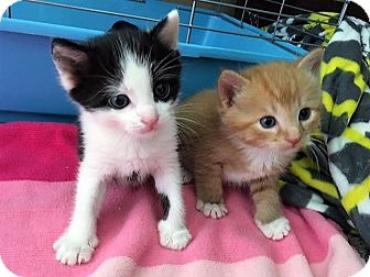 Domestic Shorthair Kitten for adoption in Dumfries, Virginia - Leo (orange)