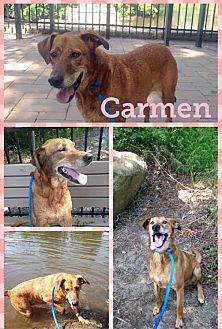 Labrador Retriever Mix Dog for adoption in Colonial Heights, Virginia - Carmen