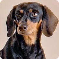 Adopt A Pet :: Minni Cooper - Houston, TX