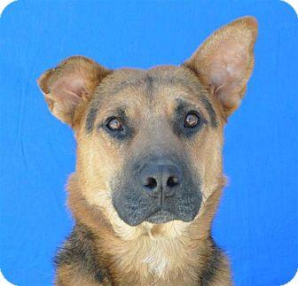 German Shepherd Dog Mix Dog for adoption in Pagosa Springs, Colorado - Blitz