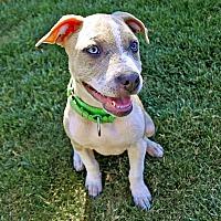 Adopt A Pet :: Ava - San Jose, CA