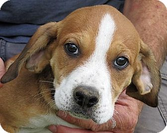 Beagle/Hound (Unknown Type) Mix Puppy for adoption in Germantown, Maryland - Mikey