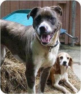 Catahoula Leopard Dog Mix Dog for adoption in Staunton, Virginia - Patsie