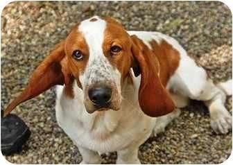 Basset Hound Mix Dog for adoption in Kalamazoo, Michigan - Winston