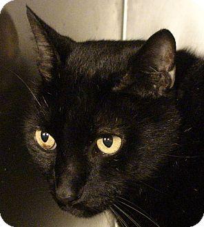 Domestic Shorthair Cat for adoption in El Cajon, California - Lucky