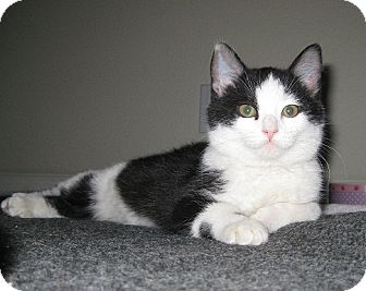 Domestic Mediumhair Kitten for adoption in Irvine, California - Topanga