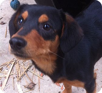 Shepherd (Unknown Type)/Shepherd (Unknown Type) Mix Puppy for adoption in Homestead, Florida - Billy Ray