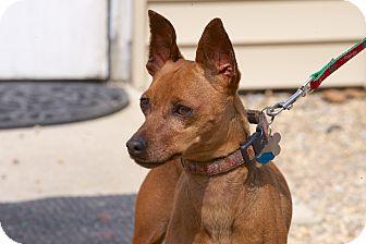Miniature Pinscher Dog for adoption in Medfield, Massachusetts - Sandy