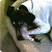 Adopt A Pet :: Dewey - URGENT - Wapwallopen, PA