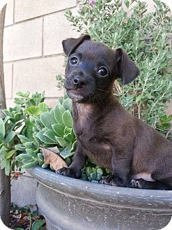 Dachshund/Chihuahua Mix Puppy for adoption in Anza, California - Bear