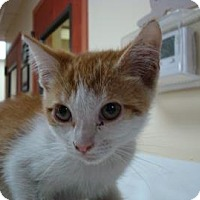 Domestic Shorthair Cat for adoption in Miami, Florida - Maxine