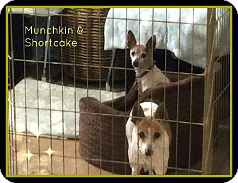 Rat Terrier Dog for adoption in New Richmond,, Wisconsin - Shortcake