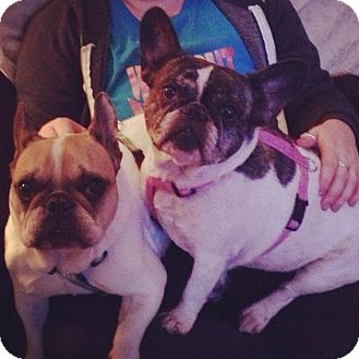 French Bulldog Dog for adoption in Columbus, Ohio - Gus (bonded pair with Sophie)