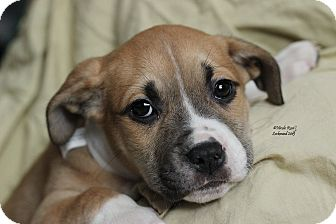 American Pit Bull Terrier Mix Puppy for adoption in Flushing, Michigan - Lenny