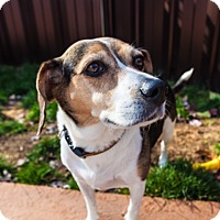 Adopt A Pet :: Cheez - Vaudreuil-Dorion, QC