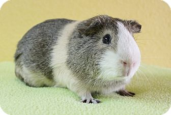 Guinea Pig for adoption in Benbrook, Texas - Peter