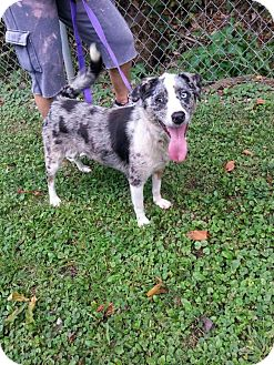 Australian Shepherd/Australian Cattle Dog Mix Dog for adoption in New Martinsville, West Virginia - Sharon