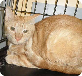 Domestic Shorthair Cat for adoption in Highland Park, New Jersey - GALLADAY