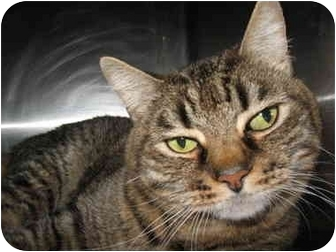 Domestic Shorthair Cat for adoption in South Lake Tahoe, California - Julie