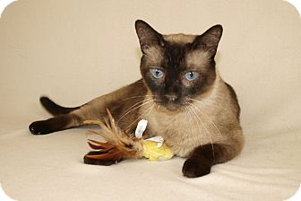 Siamese Cat for adoption in Jackson, Mississippi - Link