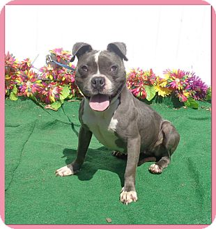 Pit Bull Terrier/American Pit Bull Terrier Mix Dog for adoption in Marietta, Georgia - BUNNY (R)