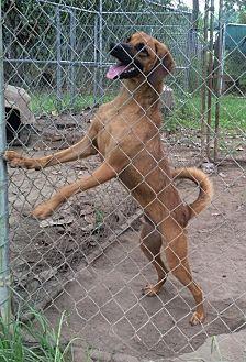 Bloodhound Mix Dog for adoption in Slidell, Louisiana - Laurel