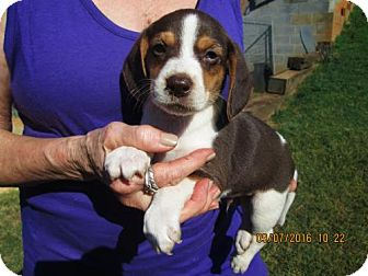 Beagle/Harrier Mix Puppy for adoption in Rutherfordton, North Carolina - RANSOM