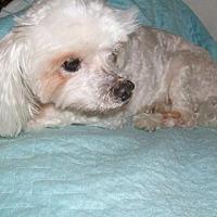 Maltese Dog for adoption in Largo, Florida - Prince Charming (FL)