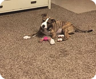 Pit Bull Terrier Mix Puppy for adoption in Broken Arrow, Oklahoma - June