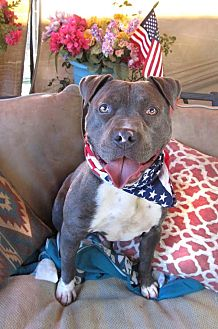 American Staffordshire Terrier Mix Dog for adoption in Toluca Lake, California - JT