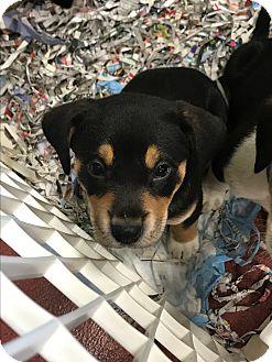 Australian Cattle Dog/Beagle Mix Puppy for adoption in Mechanicsburg, Ohio - Carolyn