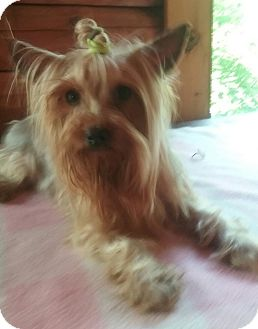 Yorkie, Yorkshire Terrier Dog for adoption in Millersburg, Ohio - Zoe
