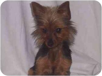 Yorkie, Yorkshire Terrier/Yorkie, Yorkshire Terrier Mix Dog for adoption in Bristow, Oklahoma - Yogi