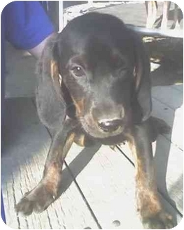 Black and Tan Coonhound/Retriever (Unknown Type) Mix Puppy for adoption in Baltimore, Maryland - Tramp