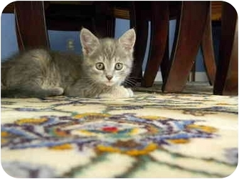 Domestic Shorthair Kitten for adoption in Frenchtown, New Jersey - Shelby