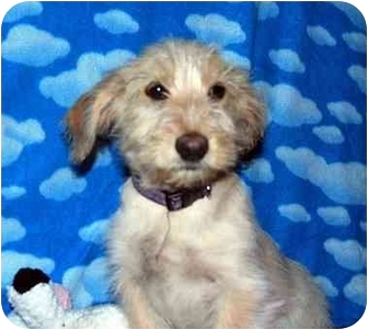 Terrier (Unknown Type, Small)/Norfolk Terrier Mix Puppy for adoption in Broomfield, Colorado - Julien MacDonald