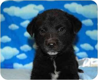 Border Collie/Collie Mix Puppy for adoption in Broomfield, Colorado - Donatello