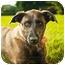 Photo 2 - Greyhound Mix Puppy for adoption in Ile-Perrot, Quebec - GAZELLE