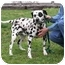 Photo 1 - Dalmatian Dog for adoption in Ripley, Ohio - Levi