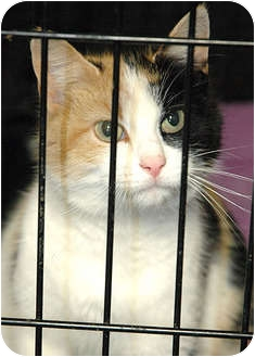 Calico Cat for adoption in Ripley, Tennessee - Ruthie
