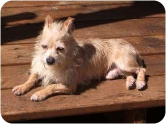 Terrier (Unknown Type, Small)/Chihuahua Mix Dog for adoption in Salem, Oregon - Murphy