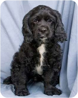Cocker Spaniel/Cavalier King Charles Spaniel Mix Puppy for adoption in Anna, Illinois - SPUD